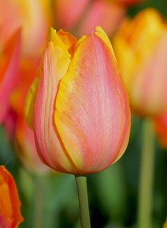 Tulip Prairie Fire