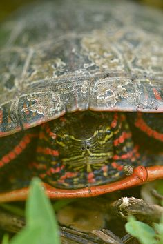 Western Painted Turtle by Tiwago