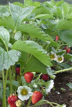Organic Strawberry Plants at our home farm.