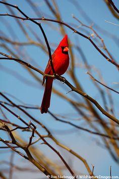 Male Northern Cardinal, Amado, Arizona. From wildnatureimages.com.