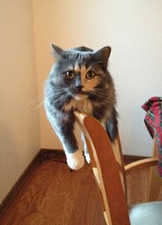 The cat hangs on the back of the chair like this all the time