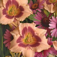 """his fabulous dwarf grower has large 4"""" flowers. Unique peach petals and a big eye the color of a purple coneflower! 22"""" tall.    One of our most popular perennial flowers, Daylilies originated in China. Through extensive hybridizing their color range is huge and they vary in size from dwarf to large. Many are fragrant and re-blooming. They thrive in full and part sun and grow in most any soil including clay in moist and dry conditions. The dwarf re-bloomers are especially nice for containers."""