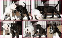 Boxer Garbein--Delissa and Dr. House, 6 weeks old... And, mother, Venus...