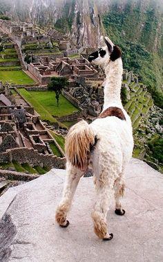 Llama overlooking Machu Picchu, Peru
