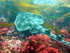 Scuba Diver Girls | Guitarfish ~Diving La Jolla