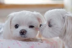a kiss, little puppies, maltese puppies, the neverending story, pet, dog, friend, sweet kisses, animal