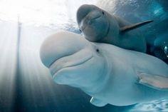 beluga whale, babi beluga, mother, aquarium, baby beluga, animal babies, sea world, deep blue, whales
