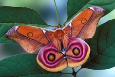 Orange and Pink Moth