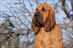 Bloodhound GCH CH Quiet Creek's Kiss and Tell