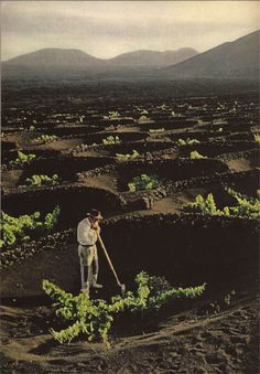 "Man-made craters, scooped out of granular lava cinders, shelter grapevines - from National Geographic, 1969. In La Geria, Lanzarote, the Canary Islands. ""This technique gathers water from rain and mist and keeps the plants from the burning Saharan winds."""