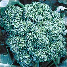 Broccoli, Calabrese