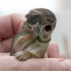 a baby bunny yawning...so darn cute!