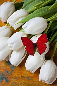 Red Butterfly on White Tulips