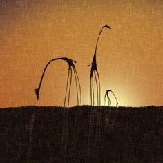 sunset, giraff
