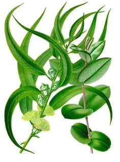All About Eucalyptus Oil « The Mountain Rose Blog