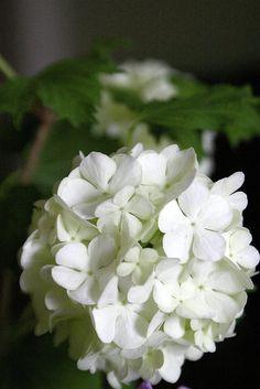 /\ /\ . Viburnum Opulus Roseum 'Snowball bush'