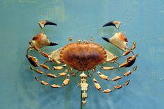 Buey de mar#Edible crab#cancer pagurus