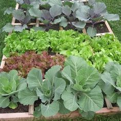 """Square foot gardening is super efficient, growing 100% of the crop in 20% of the space, making it ideal for those with space limitations. The densely planted crops can create a """"living mulch"""" of sorts, preventing weeds from germinating or getting firmly established."""