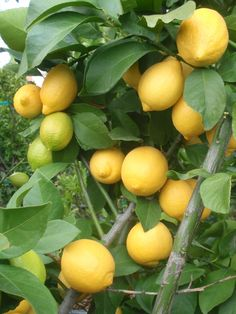 Lemons and nature