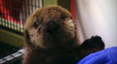 This pup was the 501st live-stranded sea otter to enter the SORAC program since its inception in 1984. She was now officially called 501.  Let us know what you think about Otter 501: A webStory by completing our short survey at http://www.surveymonkey.com/s/LF9DGTM.