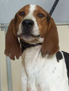 NO LONGER LISTED - #UTAH #U ~ ID 11278 is a Neutered Coonhound in need of a loving #adopter / #rescue at Sevier County Animal Shelter  2555 N  Interchange Rd  #Sigurd UT 84657 seviercountypetadoptions@yahoo.com Ph 435-896-5370