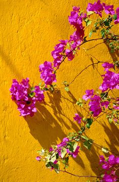 bougainvellea, mexico yellow and pink colors!