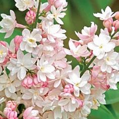 Beauty of Moscow Lilac- Might get this one for next spring