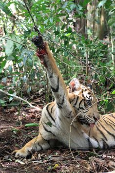 A Sumatran tiger trapped by tiger poachers in Muko-Muko, Bengkulu province, Indonesia. Conservationists have found 120 traps set up by poachers to snare critically endangered Sumatran tiger in Kerinci Seblat national park Photograph: Kerinci Seblat National Park/AFP/Getty Images