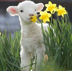 Gentle Lovely Lamb <3