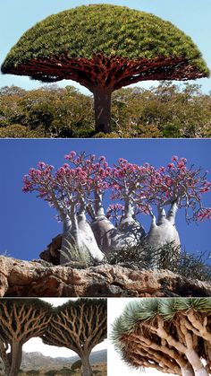 solated from continental land masses for 18 million years, Yemen's Socotra Island showcases an alien-like landscape with unusual plants and animals, such as the blood dragon tree, and desert rose