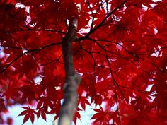 RED - maple tree