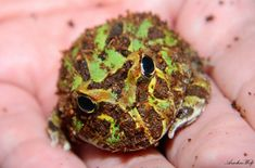 How to Care for Northern Cricket Frogs foto