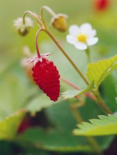 15 Top Native Plants of the Pacific Northwest - Alpine strawberry