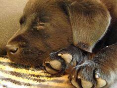 Rikki the Labrador Retriever