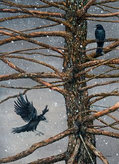 Corvus Corvidae and the Cedar