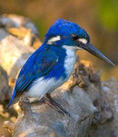 Kakadu - Northern Territory - LinkedIn Guides (Kingfisher at Kakadu National Park)