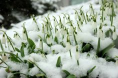 Galanthus (Snowdrops) with a dusting of snow in the Mary Livingston Ripley Garden