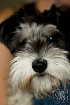 This is one super darling Mini Schnauzer puppy, just adorable
