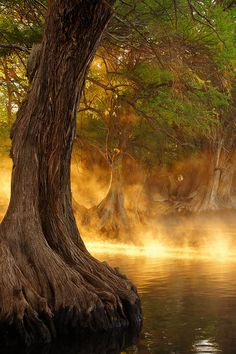 ~~Lago de Camécuaro, #Mexico ~ swamp #cypress #tree