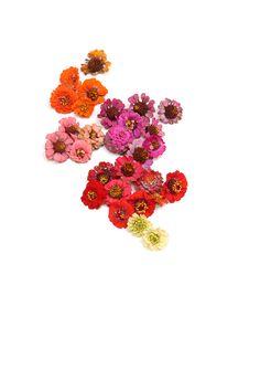 october zinnia's (mary jo hoffman)