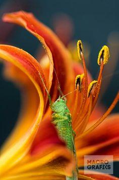 Grasshopper in Lily / © Norbert Garaj