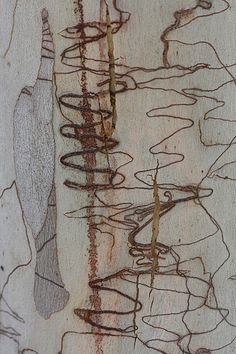 Scribbly gum bark |  Katarina Christenson