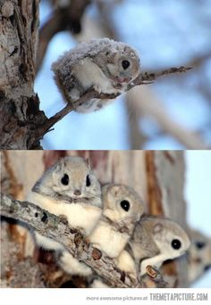 Japanese Flying Squirrels. Such cuteness!