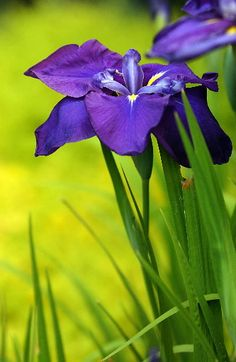 different kinds of iris flowers | ... iris. (Other types of iris grow from bulbs and have different care