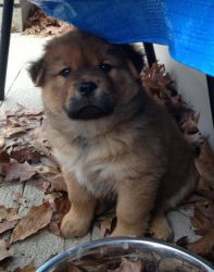 cedar is an adoptable chow chow dog in fenton mi this little chow baby ...