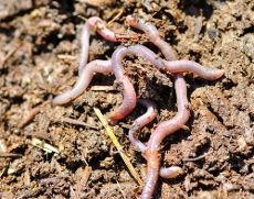 how to attract earthworms to a compost pile