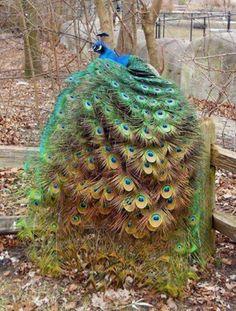 Peacocks are really beautiful.