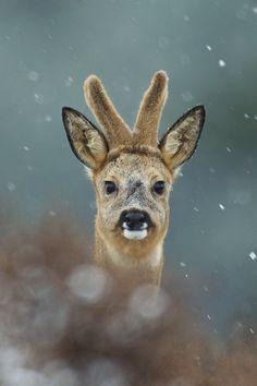 Winder roe deer