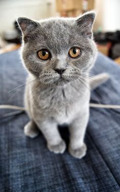 How much does a Scottish Fold Kitten Cost? Click to read