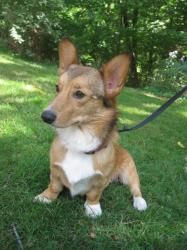 Corki is an adoptable Corgi Dog in Creston, OH. Meet Corki, the Corgi.  Corki is very loving, kind and good with other dogs and cats.  He is not only very beautiful outside, but has an exceptional per...